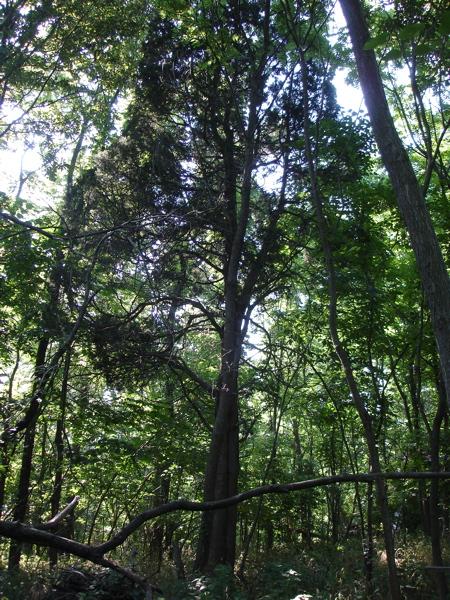 Cedar, Juniperus Virginiana, from battle of Lookout mountain.